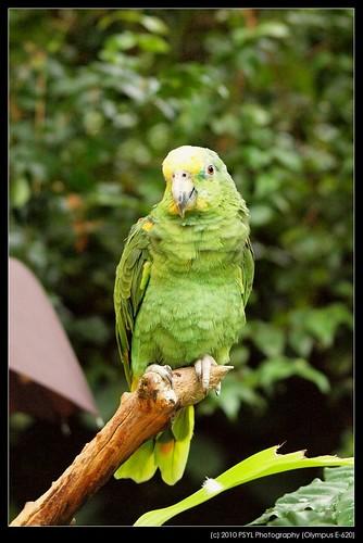Casey, the Yellow-headed Amazon Parrot (Amazona oratrix)