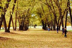 19/31: Scattered (jamie {74}) Tags: autumn trees leaves kids 1931 35mm leaf nikon running day19 scattered d40 runningkids canopyoftrees picturefall nikkor50mmf14g oldhorsefarm