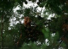 Tastes good (Jovoorthan) Tags: trees tree nature animal animals squirrel dof zoom sony sigma apo 100 alpha leafs 100300 beukenootjes