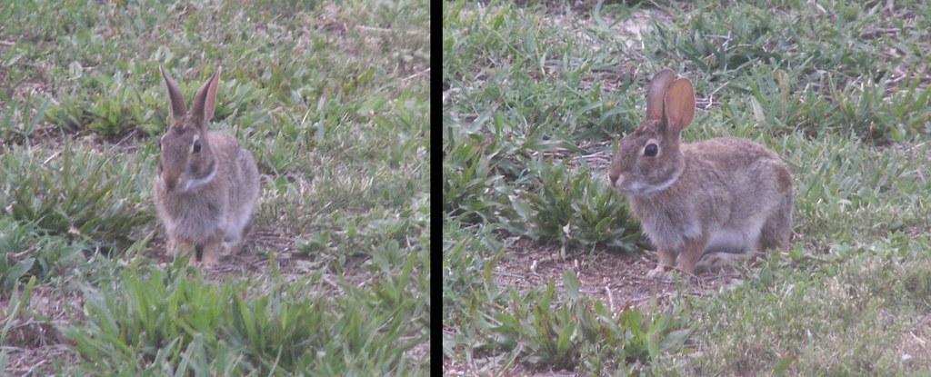 Bunny Series