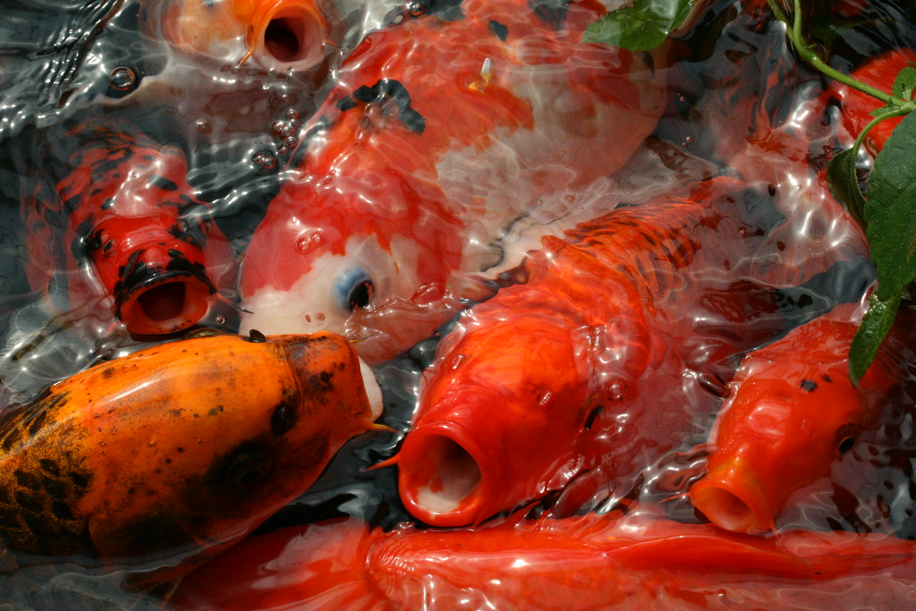 The world 39 s best photos by rowan castle flickr hive mind for Koi spawning pool