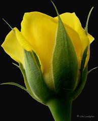 One more Yellow (atranswe) Tags: macro rose yellow sweden may sverige ros gul 2007 maj excellence falkenberg supershot abigfave lumixdmcfz20 amazingshots ishflickr p1110646