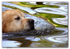 I Want To Swim.......forever.. (bluemist57) Tags: dog water swim goldenretriever searchthebest canine soe blueribbonwinner thephotooftheweek anawesomeshot impressedbeauty bestofdogs