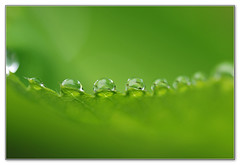 On the tip of a leaf (Devotional Fine Art Photography | Lars Basinski) Tags: macro green dewdrops droplets dew waterdrops unison ladiesmantle frauenmantel ladysmantle sigma105mm nikond80 diamondclassphotographer flickrdiamond medicalplant larsbasinski clarsbasinski facetsofinnergifts