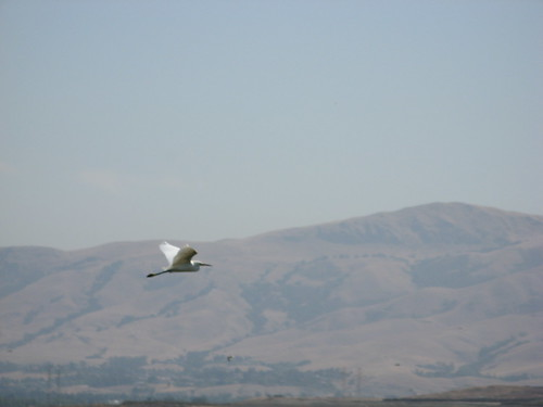 Snowy egret, with Mission Peak in the background