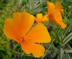 for a beautiful week !!! (karin_b1966) Tags: plant flower nature garden blossom natur pflanze blume blte garten californianpoppy kalifornischermohn