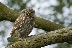Adelr_20070630_257-Edit (reneadelerhof) Tags: bird owl littleowl steenuil avianexcellence atheneathene