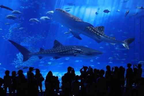 dos Tiburones Ballena en Okinawa Churaumi Acuario