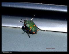 flower chafer beetle.jpg (Naseer Ommer) Tags: kerala southindia munnar coleoptera scarabidae idukki cetoninae topstation naseerommer macrophotosnolimits flowerchafferbeetle