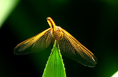 (Felix Francis) Tags: life wild india macro green net nature insect living fly flying jump wings colours dragon dragonfly felix wildlife kerala thrissur