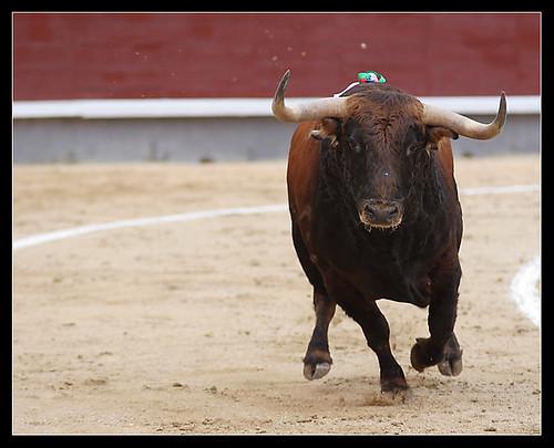 Toro de Núñez del Cuvillo
