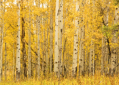 Aspen Grove (Bonnie Bowne) Tags: autumn sunlight fall landscape nationalpark foliage aspens wyoming grandtetonnationalpark gadling gtnp nikonstunninggallery anawesomeshot isawyoufirst