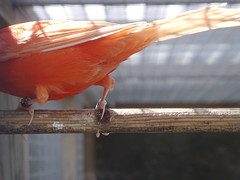 Salmon Pink. (highwaycharlie) Tags: pink orange feet digital still wings shot legs tail bottom salmon perch canary claws
