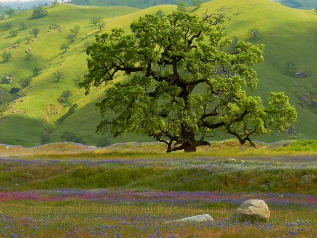 Tejon Oak