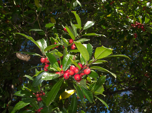 Ripe holly berries