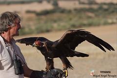 Aguila Real ( Peragn ) Tags: naturaleza nature real pico alas aguila cetreria