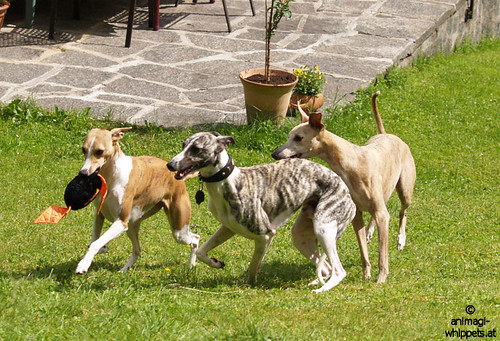 Whippets Pluto, Nisha & Coco
