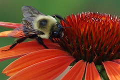 Bzzzzy  Bee (Floater Ya-Ya) Tags: orange flower macro nature petals insects bumblebee explore coneflower finest natures magicmoment helluva supershot msh0607 msh060713 photofaceoffwinner betterthangood hc09071 pfogold