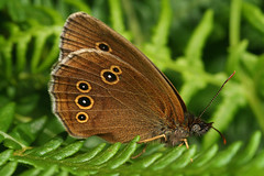 """Ringlet Butterfly (Aphantopus hyperan(6) • <a style=""""font-size:0.8em;"""" href=""""http://www.flickr.com/photos/57024565@N00/591757607/"""" target=""""_blank"""">View on Flickr</a>"""