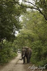 Elephant watch (dickysingh) Tags: wild india nature big outdoor wildlife aditya elephants corbett singh corbet dicky indianwildlife indianelephants corbettnationalpark asianelephants corbetttigerreserve asiaticelephants elephantpark wildelephants elephantreserve ranthambhorebagh adityasingh dickysingh ranthamborebagh theranthambhorebagh wwwranthambhorecom