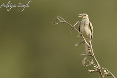 Unidentified bird on a branch (dickysingh) Tags: wild india bird nature outdoor wildlife aditya corbett singh dicky tigerreserve ranthambhorebagh adityasingh dickysingh ranthamborebagh theranthambhorebagh wwwranthambhorecom