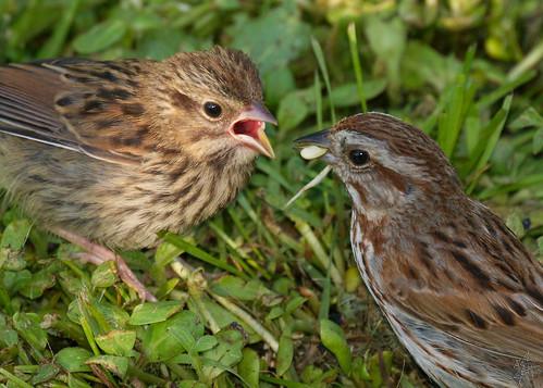 Song Sparrow / Bruant Chanteur
