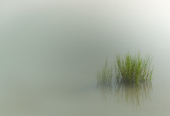 Marsh grass in the mist