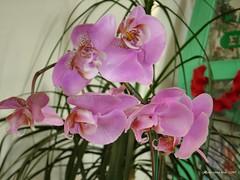 Pink Phalaenopsis           ...................DSC06477a - by SantaRosa OLD SKOOL