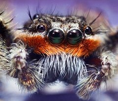 Male Platycryptus undatus Jumping Spider (Thomas Shahan) Tags: macro eye k bug hair insect prime spider jumping eyes bravo close pentax takumar arachnid small 28mm reversed fangs dslr ist bellows eight dl relfections opo arthropod macrophotography bayonet palps terser opoterser