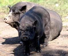 Piggies (Jolanda van Tuijl) Tags: zoo pig animalpark varken beesd dierenpark zwijn mrsjolanda depaaij thebiggestgroupwithallkindofanimals
