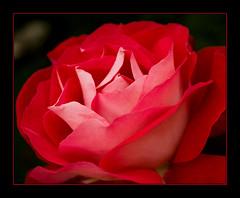 Rose - by The Massie Boy
