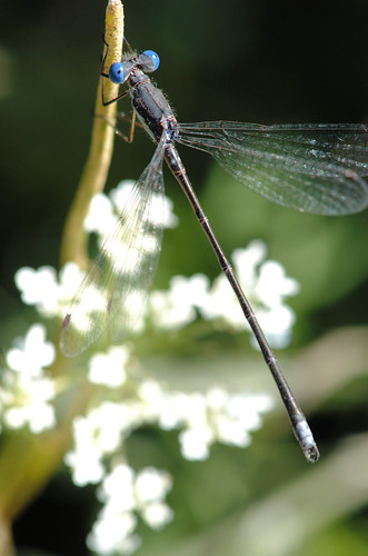 spreadwing