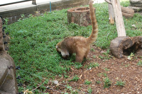 A Coati!
