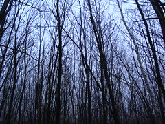 Looking up though the trees (Rachael Hickling) Tags: blue trees sky nature silhouette woods pembury skythroughtrees