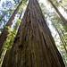 John Birchard Redwoods 2