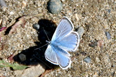 northern blue and shadow (manywinters) Tags: blue summer alaska butterfly message gathering congregation northpole butterflyshadow northernbluebutterfly chenafloodcontrolproject