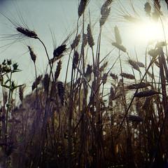 Lost summer love (Ilaria ) Tags: 120 6x6 mediumformat 400 toscana portra canoscan yashicamat124 medioformato 8800fkodak