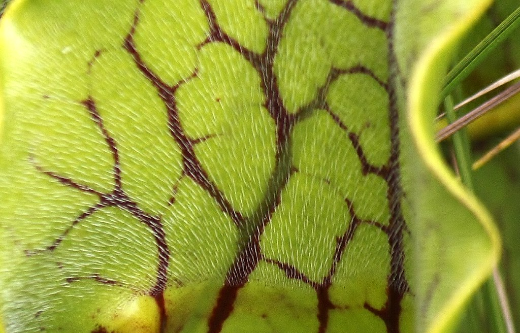 Purple pitcher plant (27)