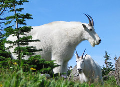 mountain goat surprise (Abizeleth) Tags: trees mountains 2004 grass montana rocks grandmother bluesky roadtrip goats surprise glaciernationalpark mountaingoat naturesfinest bigmomma specnature oreamnosamericanus animalkingdomelite anawesomeshot photofaceoffplatinum pfogold pfoplatinum beautifulworldchallenges herowinner motmoct11