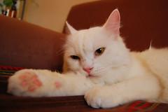 KWITTIE BOY (halfwhiteboy) Tags: pet cats pets cute cat nikon feline kitty dslr nikondigital housecat d40 supershot nikondslr bluelist abigfave supershots kissablekat nikond40 impressedbeauty aplusphoto kwittieboy bibedoggie