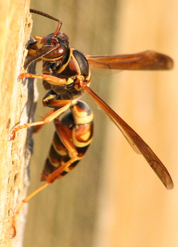 polistes paper wasp fence 03
