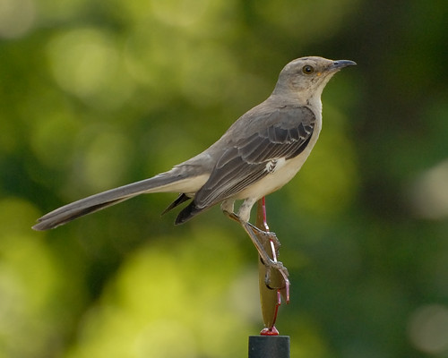Voici un « Mockingbird » ! (Photo par MrBobBaker)