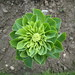 Little Gem lettuce, Baddesley Clinton
