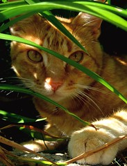 The Jungle Beast (Miss Claeson) Tags: plants animal cat garden ginger eyes sweden jungle dalar oreengeness