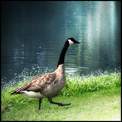A journey of 1000 miles begins with a single step! (ilina s) Tags: lake cute bird nature water grass animal sparkles walking wildlife goose step cheerful naturesfinest 500x500 ilinas