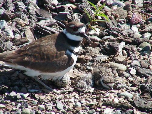 killdeer_mother_egg_2_chicks