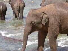 DSCN0552 (willster1000) Tags: spiders buddha jungle elephants srilanka ceylon teapicking