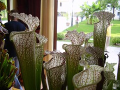 Sarracenia leucophylla (Biljke Mesozderke) Tags: plants meeting stewart carnivorous nepenthes mcpherson dionaea terranium aipc