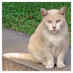 Sizing up, Staten Island, NY (Grufnik) Tags: new york up grass cat fur island harbor intense paw beige tail center size ledge choice gaze snug cultural s