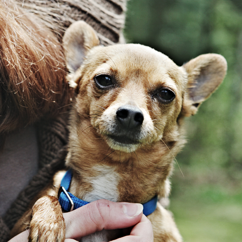 photo of a chihuahua